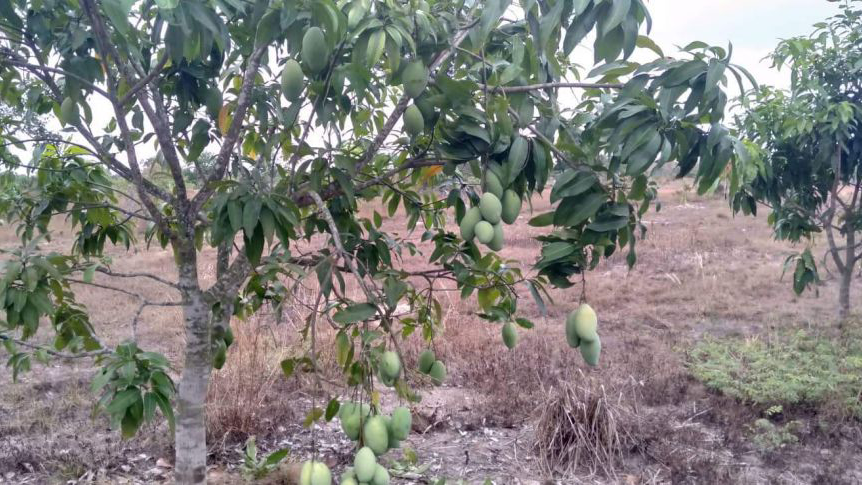 Rock-Foundation-Cambodia-Mangos-Farm-2000-Fresh-Clean-Water