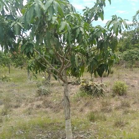 rock-foundation-cambodia-single-mango-tree